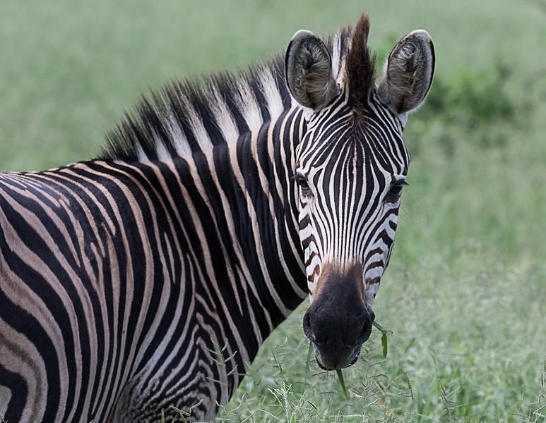 Zebra 1703011146.jpg