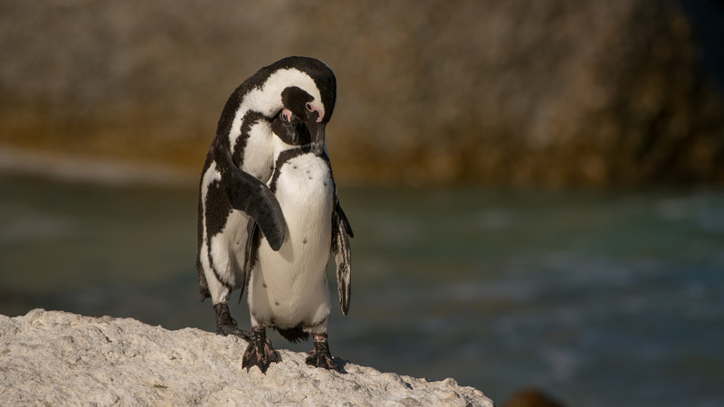 African Penguin, Spheniscus demersus. Boulder Beach, Simon's Town, South Africa.