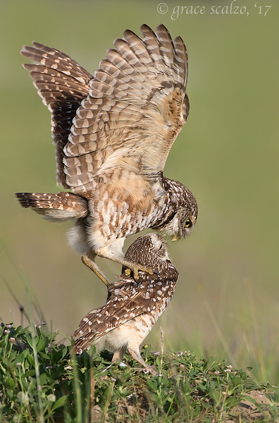 Burrowing Owls Mating