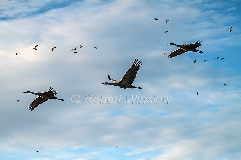 Sandhill Cranes, Grus canadensis, Flying, Bosque del Apache National Wildlife Refuge, New Mexico, USA, North America