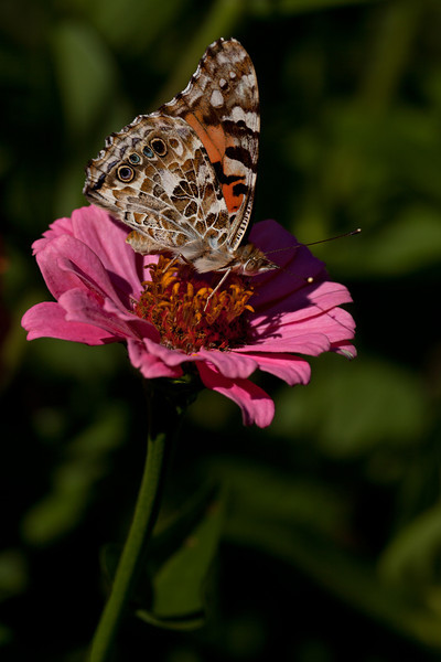 Painted Lady,  VivS1 90mm at f8