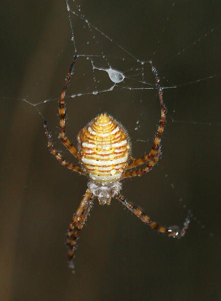 0867 Orb Spider.jpg