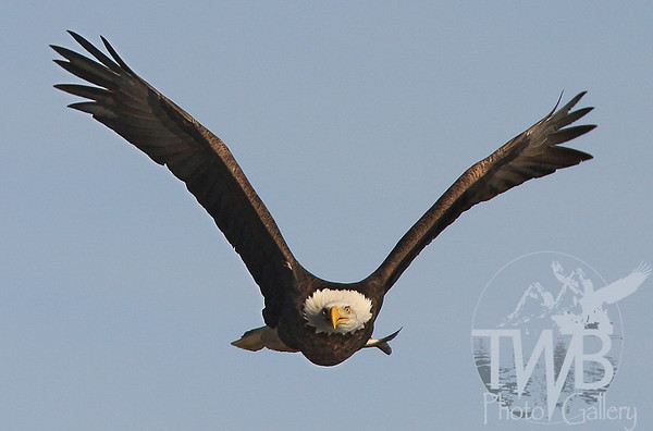 Bald Eagle heading for the trees with fresh catch.
