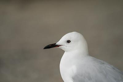 Black-billed Gull [Larus bulleri]