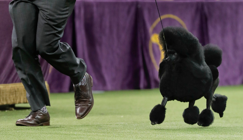 . Aftin, a miniature poodle, takes a lap around the ring with her handler during the Best in Show competition at the 141st Westminster Kennel Club Dog Show, Tuesday, Feb. 14, 2017, in New York. (AP Photo/Julie Jacobson)