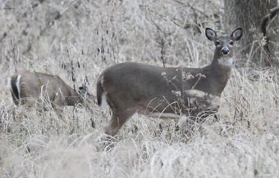 Deer 2017