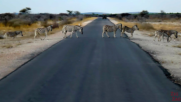 Zebras crossing the road at Eotsha National park, Namibia