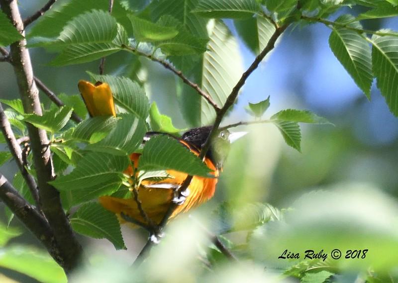 Baltimore Oriole (very uncooperative bird :-))  - 6/26/2018 - Decorah, Iowa, Trout Run Trail near Fish Hatchery