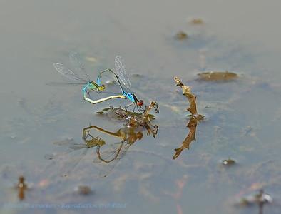 Kleine roodoogjuffer; Erythromma viridulum; Kleines Granatauge; Small redeyed damselfly; Naïade au corps vert