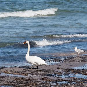 027-03 Cygnus olor, Knölsvan, Mute Swan