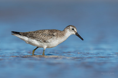 Red Knot (Calidris cants) NT