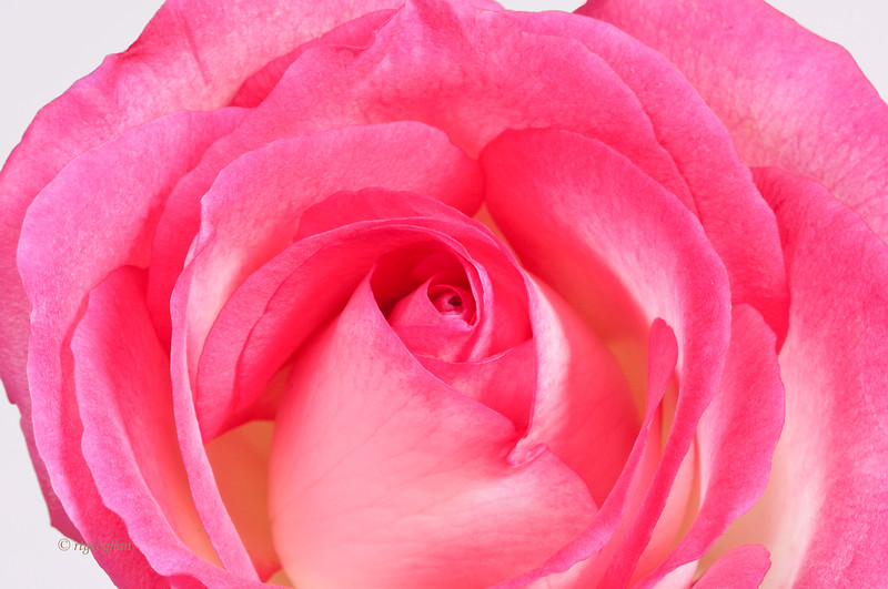 Mar 6_Pink Rose Closeup_3980.jpg