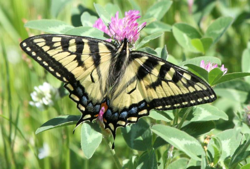 Swallowtail 05.JPG