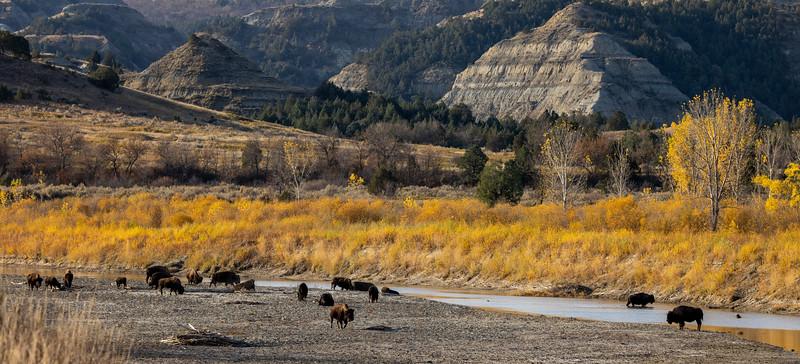 Bison along Little Missouri River Theodore Teddy Roosevelt National Park Medora ND IMGC0821-2.jpg