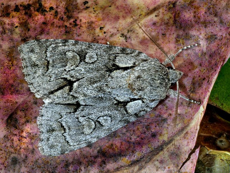 Gray Dagger Moth
