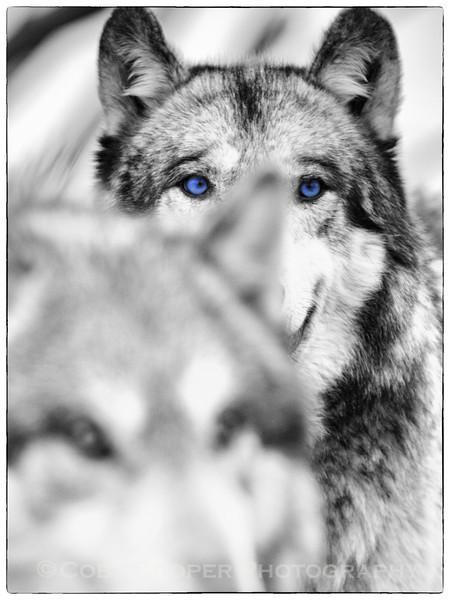 Wolves 2011 BL & W