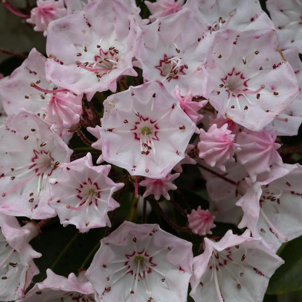 Mountain Lurel Blooms