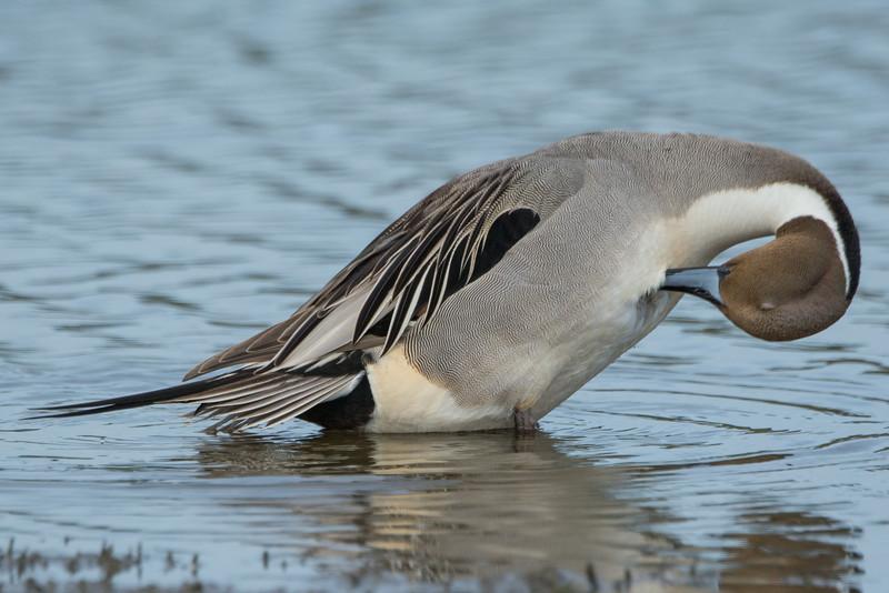 Northern Pintail Drake
