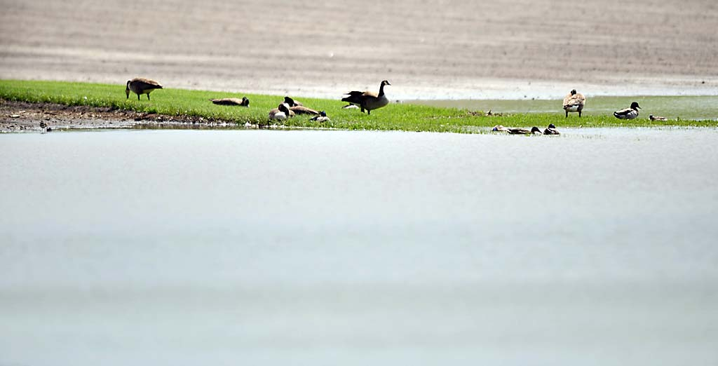 . The ducks and geese seem to enjoy the flooded experimental farm fields near the University of Minnesota St. Paul Campus in Falcon Heights. (Pioneer Press: Chris Polydoroff)