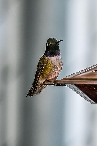 21MayHummingbirds (46 of 53).jpg