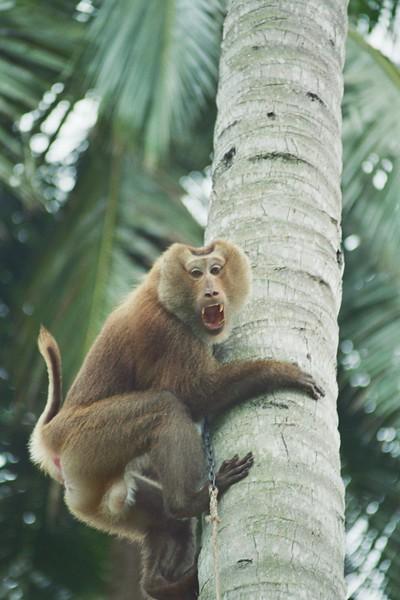 Monkey Tree Thailand, 2005.jpg