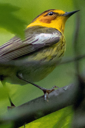 Cape May Warblers