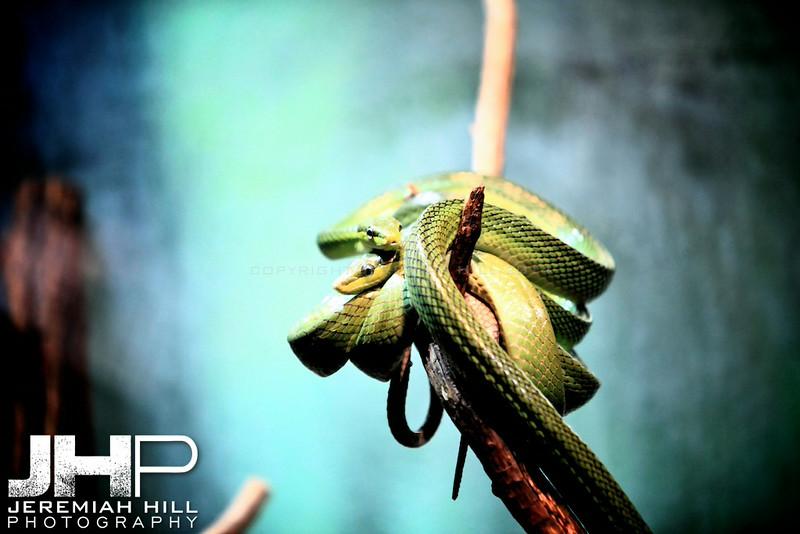 """Curled Snakes #2"", Toronto Zoo, 2013 Print JP13-99-246"
