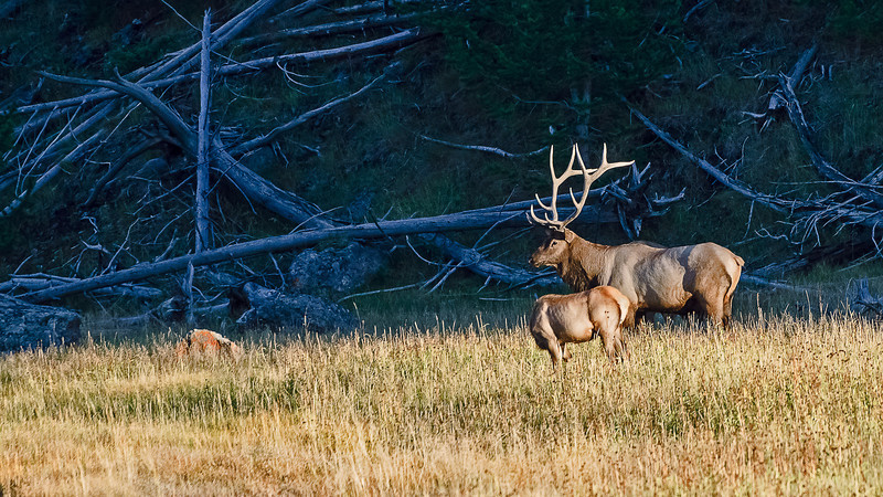 Cow and Bull Elk, Madison River