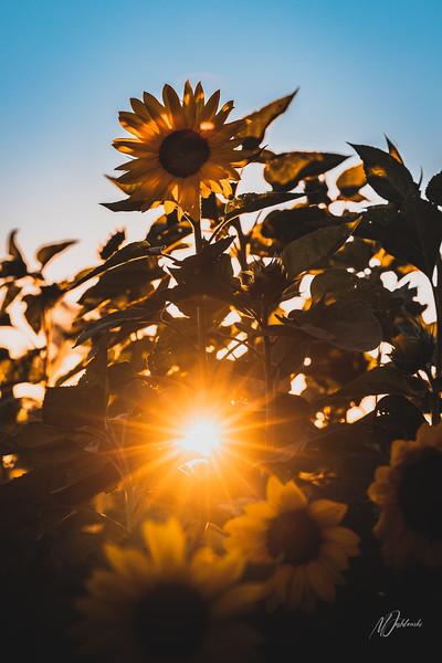 Sunflower01 6x9.jpg