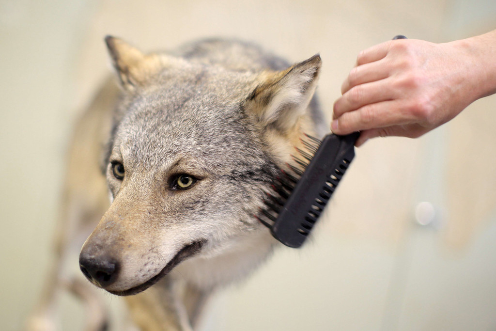 . A taxidermist brushes a stuffed wolf in the workshop of the Museum of Natural History in Mainz, western Germany on June 27, 2013.  AFP PHOTO /DPA/ FREDRIK VON ERICHSEN
