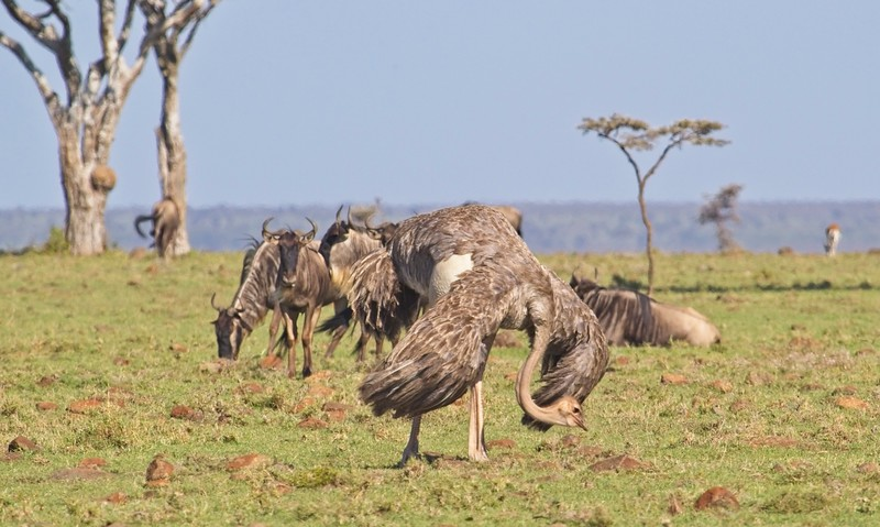 Massai Ostrich (female), Naboisho Conservancy