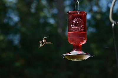 2017.06.25 Hummingbirds