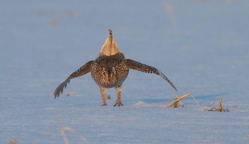 Sharp-tailed Grouse lek blind Kettle River Twp Carlton Co MN IMG_7850.jpg