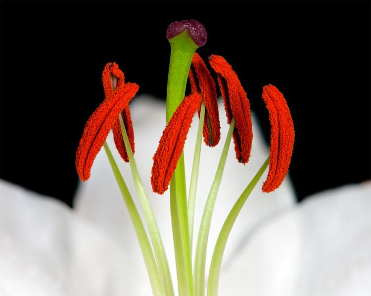 casablanca-lily.jpg