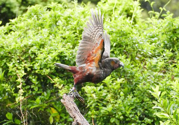 Road Scholar BirdingNZ Spring 2018