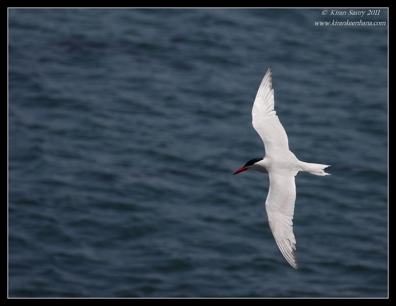 Caspian Tern, La Jolla Cove, San Diego County, California, June 2011