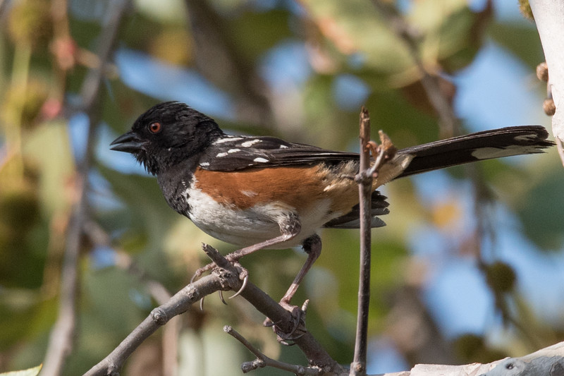Spotted Towhee singing from the branches of a sycamore tree.