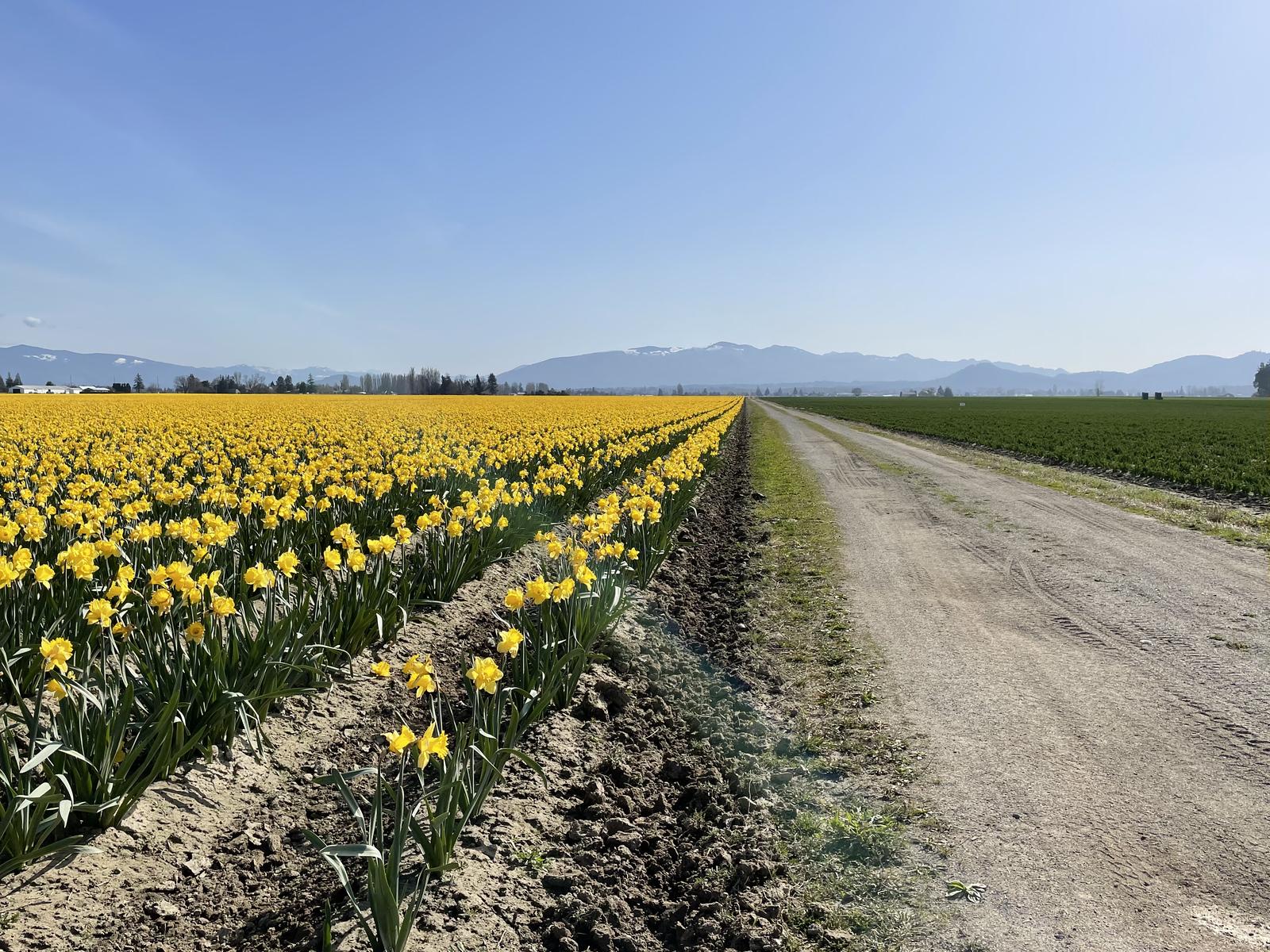 Fields of daffodils