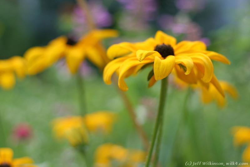 IMG_8070-flower-daisy-or-black-eyed-susan.jpg