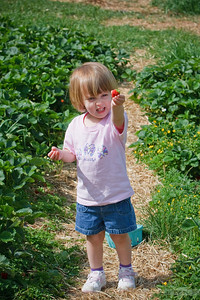 Strawberry Picking at Hollin Farms