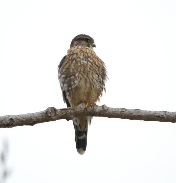 Merlin - Coyote Hills Regional Park, Fremont, CA, USA