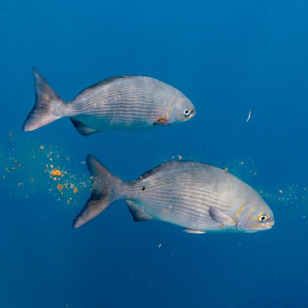 Fish underwater, Great Blue Hole, Belize Barrier Reef, Lighthouse Reef, Belize