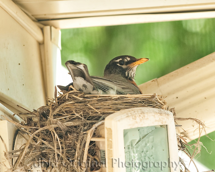 003 Baby Robins Spring 2013.jpg