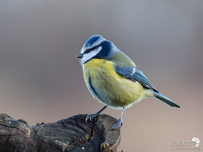 Blue Tit at sunrise