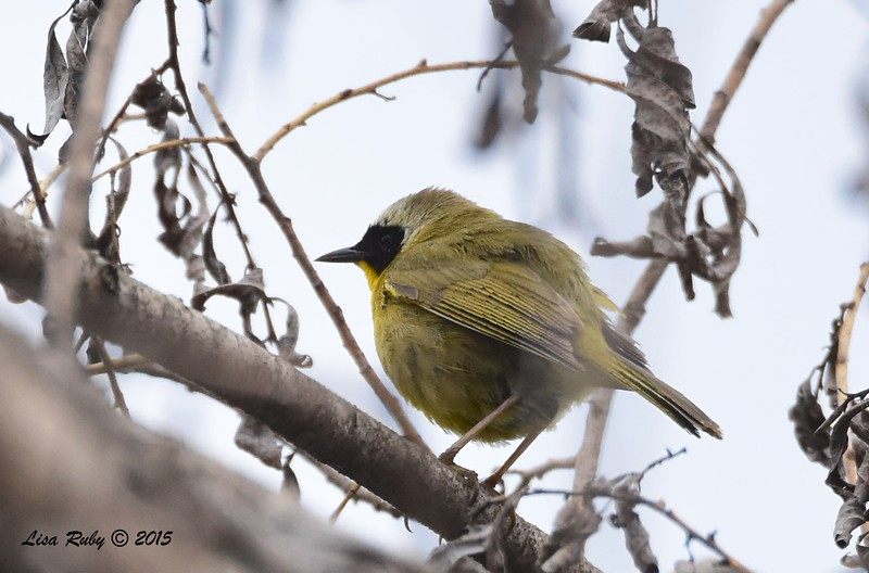 Common Yellowthroat  - 5/25/2015 - Mast Park, Santee