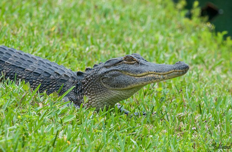 Immature alligator