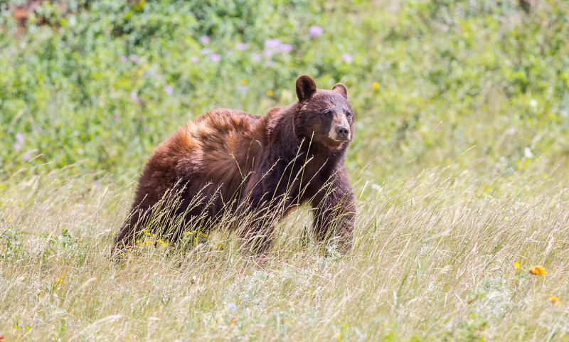 Cinnamon Black Bear - Waterton Lakes National Park, Alberta