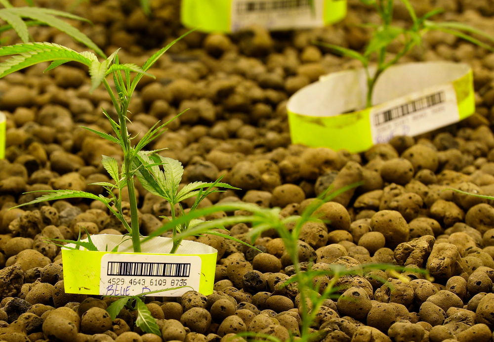 ". In this June 25, 2014, photo, marijuana plants at Sea of Green Farms, a recreational pot grower in Seattle, grow in the foliage room, where ""clone\"" plants that have developed roots are grown under special lights. Each plant is individually bar-coded, allowing it to be tracked by the state of Washington at every step of the growing, packaging, delivery, and purchasing process. (AP Photo/Ted S. Warren)"