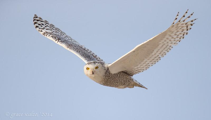 Snowy Owl Flight2_O8U0476-Edit-2.jpg