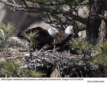Bald Eagles Pair 68378.jpg